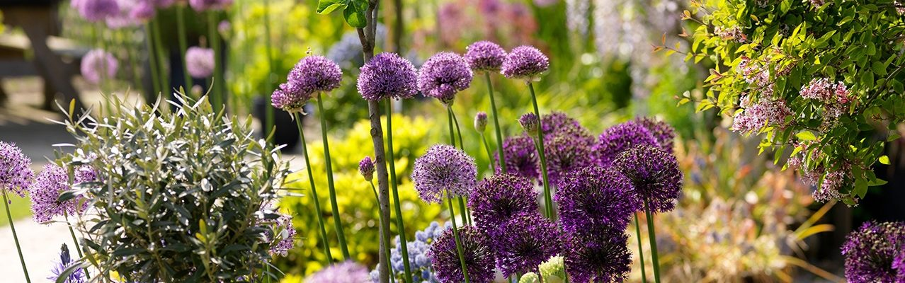 alliums-tuin-08